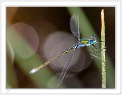 Libelulitis aguda (2) (Paco CT) Tags: macro animal dragonfly bokeh libelula 2009 valledearan valdaran ltytr1 pacoct bassadeoles