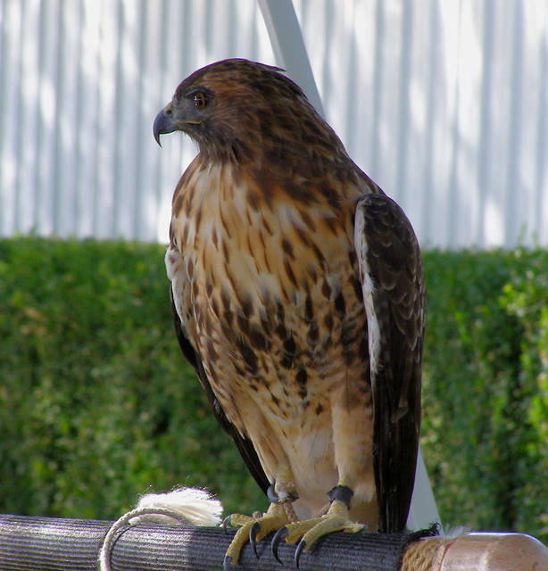 Red tailed Hawk by pegbent