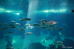 Cardume / School of fish (Nuno-Gomes) Tags: life light sea water aquarium interesting underwater lisboa lisbon colored cave breathtaking oceanarium ih oceanario nunogomes thegalaxy oceanriodelisboa abigfave platinumheartaward ilustrarportugal srieouro breathtakinggoldaward 100commentgroup artofimages worldwidetravelogue platinumbestshot platinumpeaceaward bestcapturesaoi thebestofcengizsqueezeme2groups breathtakinghalloffame todosabidosmeetingip4outubro yourpassionawards mygearandmepremium mygearandmebronze mygearandmesilver mygearandmegold mygearandmeplatinum mygearandmediamond ngomes