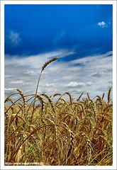 The One / Az egyetlen (FuNS0f7) Tags: summer hungary cereal szolnok sonycybershotdscf828 cornintheear alcsisziget