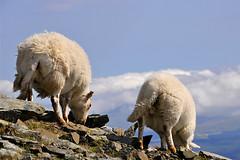 Top Sheep (Dani℮l) Tags: mountain holiday beautiful wales wonderful landscape high amazing rocks sheep unitedkingdom top daniel tag snowdonia grazing splendid abovetheclouds d300 schaapjes carneddllewelyn hillwalk