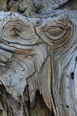 Eyes in the Wood (Scott Toste) Tags: california wood mountains nature hiking treepatterns