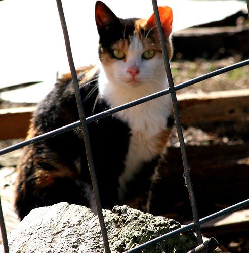 Not Cat Prison, calico feral cat