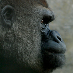 Gorilla profile / Gorila en perfil / Gorila no perfil (jovidoes) Tags: life naturaleza detalle art nature animal fauna mammal photo interesting flickr gallery foto photographer arte natural gorilla photos perfil top free explore vida cabeza animales mammals flu libre photostream belleza gorila visin percepcion finearts equilibrio armona simio mamiferos mamfero mamferos mamifero sellection expolore thesuperbmasterpiece jovidoes joaquinvicente joaqunvicenteesp joaquinvicenteespilluch joaquinespi joaquinespilluch