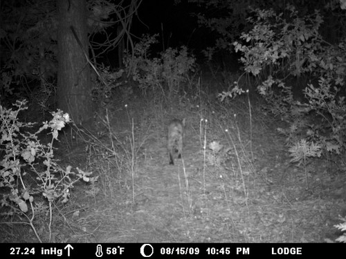 sneaky bobcat