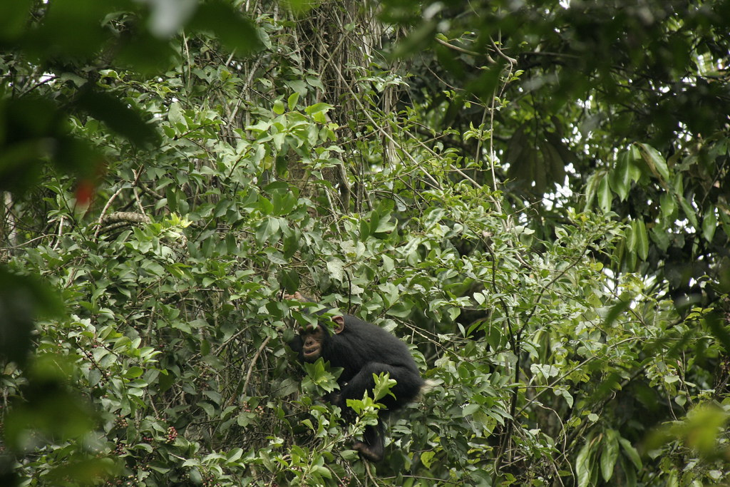 Young Chimpanzee climbing up a tree - Kibale Forest National Park, Uganda