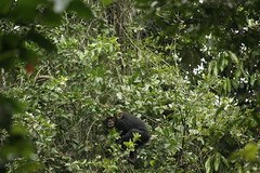genus: Pan. Young Chimpanzee climbing up a tree - Kibale Forest National Park, Uganda