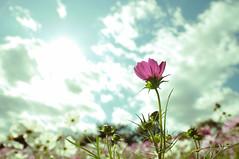 [フリー画像] [花/フラワー] [コスモス] [ピンク/花]        [フリー素材]