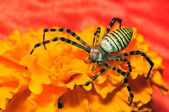 golden orb spider (aziouezmazouz) Tags: macro cute beauty amazing colours bokeh cutie pictureperfect beautifulscenery potofgold bellissima naturesfinest awesomeshot vibrantcolours supershot nicecapture beautifulcapture abigfave impressedbeauty naturewatcher macrolife nikond300 goldstaraward stunningsupershot top25redandorange