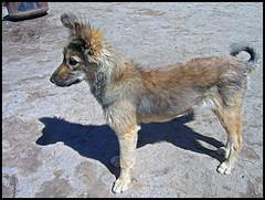 Kandek (Bltrk) Tags: dog chien strange weird funny it kyrgyz centralasia kyrgyzstan rigolo ethnography ethnology texte ethnologie craquant asiecentrale explication kirghiz kirghizstan ethnographie ethnozoology leondechose kandek tajgan dbt ethnozoologie