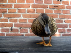 Morning Duck