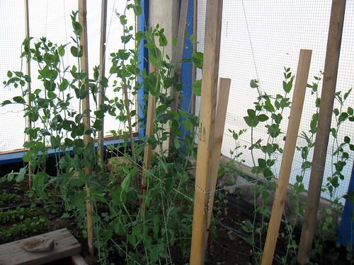 Peas in the garden