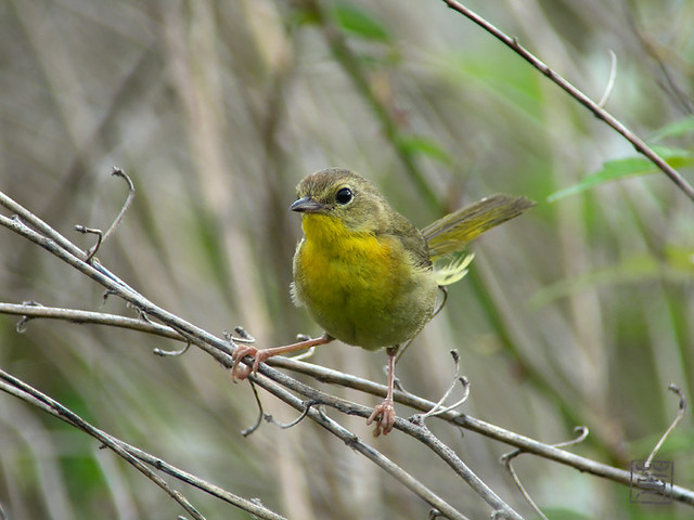 Female Common Yellowthroat, May 2011