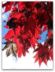 Seasons End for the Maple (Mary Faith.) Tags: park autumn red sky macro tree art fall nature leaves clouds garden design maple leisure backlit redwhiteandblue mygearandme ringexcellence