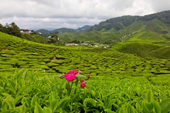 Alone (Jhaví) Tags: green verde té tea trip travelingmalaysia paisaje landscape flor flower asia cameronhighlands malaysia
