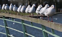 On the Fence for Friday (ashperkins) Tags: fencefriday blackheadedgulls ashperkins seagulls victoriapark widnes