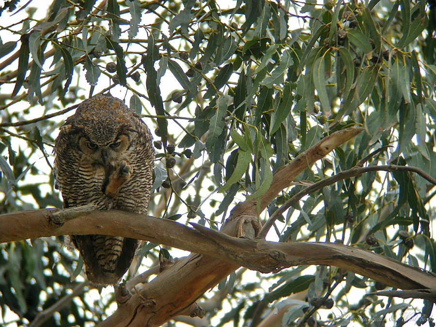 Great Horned Owl 05091-3