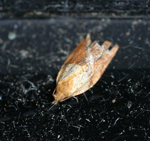 Light-brown Apple Moth (Epiphyas posvittana)