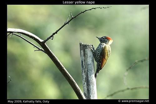 Lesser yellow nape 1