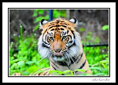 Toronto Zoo Tiger (mississaugapictures) Tags: pictures camera toronto zoo photo tiger torontozoo nikon200mm cameraclubs