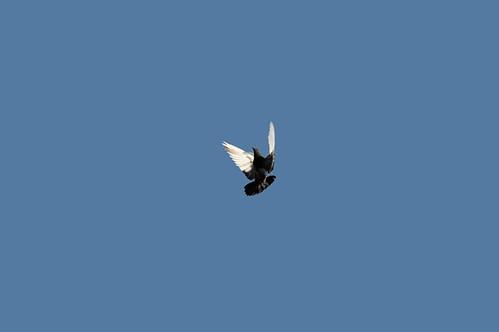 pigeon_2338_3 web
