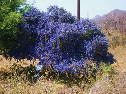 guayacan native tree of sonora blooms in May by robyn tinus----