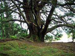西光寺の大杉