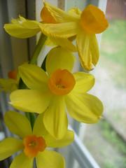 i like yellow (ashleeegator) Tags: flowers