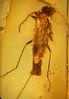Amber beetle