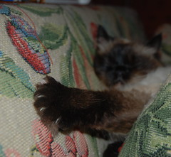 Jessy's Paw (k.richardsD80) Tags: old brown black blur cute closeup cat paw nikon focus colours rip adorable kitty couch jessy claws himalayan