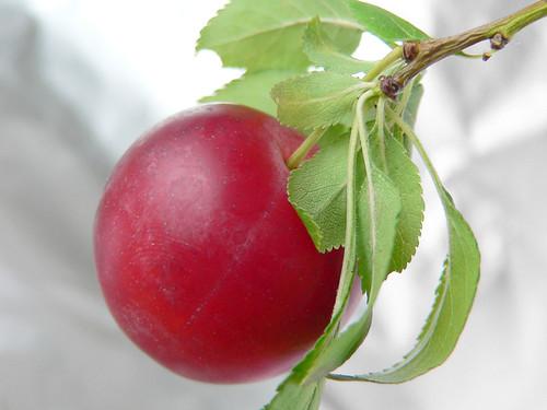 Kirschpflaume