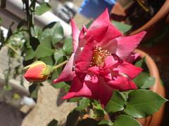 My Masquerade Roses (jenhancock) Tags: australia florafauna