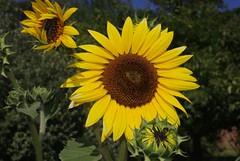 Sunny (Camra_ Art / Ellen Gardner) Tags: flowers summer sun yellow garden sunny seeds sunflowers thepoweroftheflower