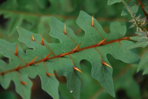 Spiny Solanum