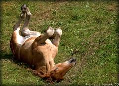 mountain life: playin' in the grass (francesco12corde) Tags: horse mountains animals play games francesco moretti francesco12corde