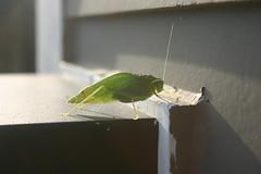 Katydid (Kate12303) Tags: bugs katydid