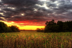 (Malcolm MacGregor) Tags: sunset sky plants field beans farm soybean thechallengefactory gettyimageswants