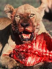Lion Blood (David Bygott) Tags: africa tanzania lion ngorongoro eat feed eol scavenge taxonomy:binomial=pantheraleo davidbygott