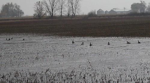 ducksonflood10-30-09x