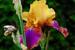 Flower and colours, ( Iris Syncopation, Iridaceae, Iris Germanica, Grand Iris ) (natureloving) Tags: orange colour nature yellow nikon purple violet springflower iridaceae irisgermanica afsvrmicronikkor105mmf28gifed d40x natureloving flowersinfrance flowerandcolours fleursenfrance irissyncopation grandiris