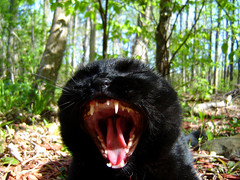 Sasha panther (jodispayne.....Mostly off :() Tags: black fall blackcat october feline sasha fangs panther catyawn blackanimals blackcatspool cc100 jodispayne friendsofzeusphoebe felinespool cattuspool strangeshotsofcatspool