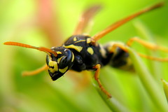 Artistic balance - European Paper Wasp (Dialed-in!) Tags: plant black macro yellow closeup canon insect lens flying succulent wasp bright artistic bokeh clear explore jaws balancing balanced stacked gripping detailed 10x g9 opteka macroextreme explored favescontestwinner macrolife dialedin thechallengefactory 175x macrolifeelite