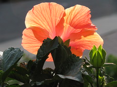 Hibiscus Glowing IMG_5998 (joecomper) Tags: flowers nature garden hibiscus orangeflower peachflower masterphotos natureandpeopleinnature artistoftheyearlevel3
