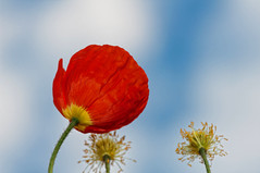 Poppy in the sky (le cabri) Tags: blue red sky cloud flower cloudy poppy delicate cile coquelicot papaver pavot