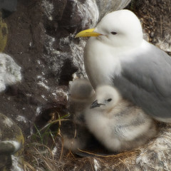 Kitti (davidnofish) Tags: uk bird yellow rock scotland aberdeenshire nest wildlife gull feathers down chick junior offspring kittiwake fowlsheugh flickrchallengegroup diamondclassphotographer flickrdiamond flickrchallengewinner