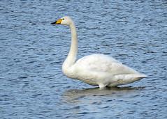Whooper Swan - Cygnus cygnus (erdragonfly) Tags: cygnuscygnus