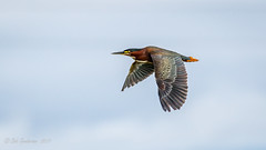 Green Heron [Explored] (Bob Gunderson) Tags: birds california canoneos7dmarkii greenheron herons lasgallinas locationofphoto marincounty northbay northerncalifornia wadingbirds birdsinflight