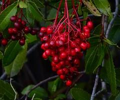 Toyon Berries--Heteromeles arbutifolia (Polioptila caerulea) Tags: toyon toyonberries heteromelesarbutifolia heteromeles championminedeercreektrail nevadacity nevadacounty california