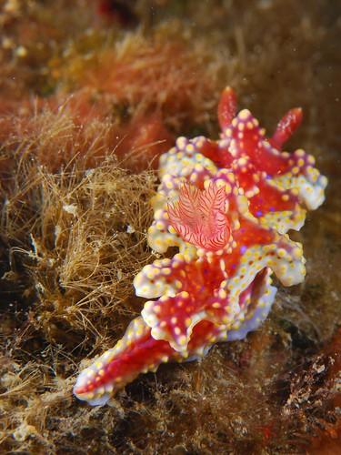 炫彩酷斯拉海蛞蝓(2)
