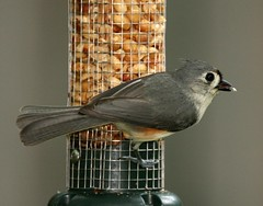 Tufted Titmouse (AllHarts) Tags: tuftedtitmouse wildlifecontest naturespotofgold~~competitivegroup pog~~den10galleryallotherbirds naturesbeautifulphotography pog~~den09gallerybirds